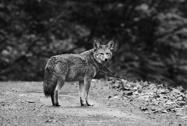 I was returning home after a visit to the Portland Audubon Society near Forest Park.  For some reason I decided to take a short drive through one of the rural roads before the steep climb up to Skyline Blvd.  To my surprise I discovered a pair of coyotes trotting down the middle of the road towards me, perhaps heading back towards their home too.  <br /> <br /> By the time I got my camera out and ready to take pictures the female coyote took off down the right bank.  The male (seen here) stood in the road attempting to draw my attention away from his mate as she moved into the woods below and passed my vehicle.  Naturally I fell for this chivalrous act and managed to get a nice photo of him.  When the male saw the female was in the clear he then followed after her.  <br /> <br /> I never did see the pair in the open again, but I did see them meet up and move deeper into the woods.