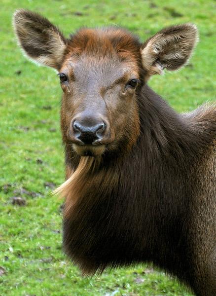 Elk Cow Portrait
