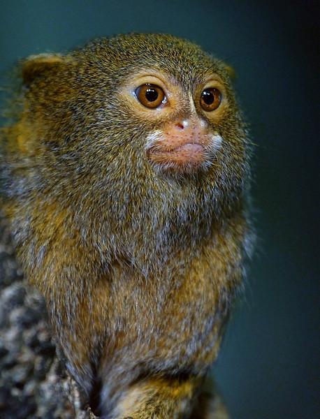 Pygmy Marmoset Portrait