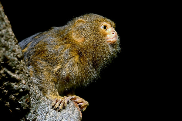 Marmoset Profile