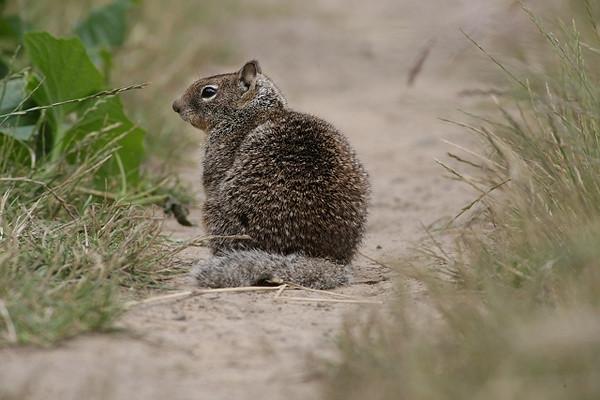 California Ground Squirrel Profile