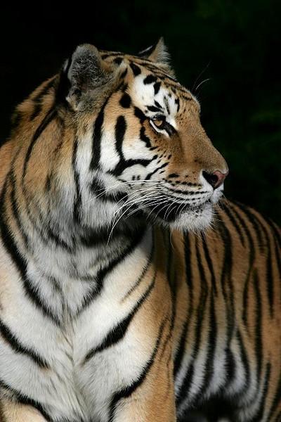 Amur Tiger Portrait