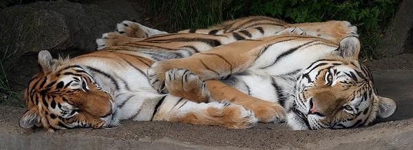 Entangled Tigers