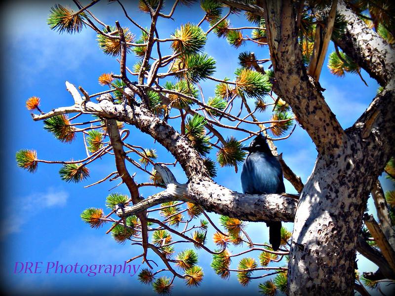 Steller's Jay - Rocky Mountain National Park