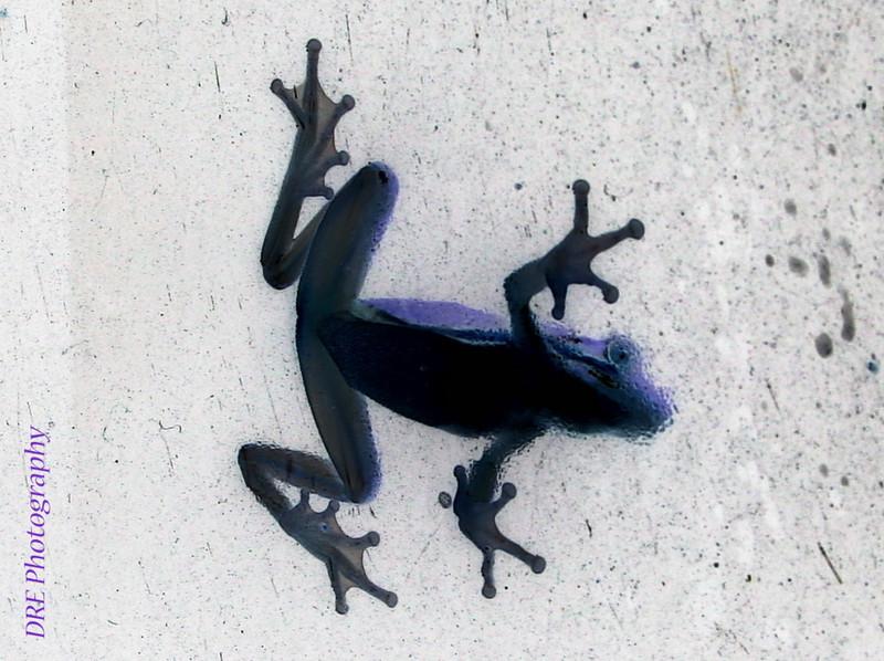 tree frog; window; glass; belly; underside; negative exposure
