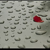 """7Aug08  quick showers rolled through midafternoon.  numerous drops were left on the roof of my car, along with a single red petal.  <a href=""""http://carpelumen.smugmug.com/gallery/3239790_s7T5g/2/181574194_75C4q/Medium"""">one year ago.</a>  f/9, 1/250s, iso 200."""