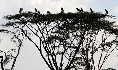 Flocks of Storks.