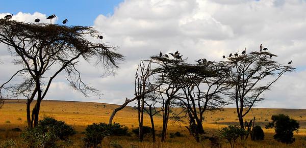 Flocks of Storks.  Kenya.
