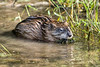 Muskrat.<br /> <br /> Current River, southern Missouri.