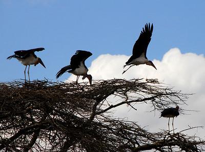 Flock of Storks.  Kenya.