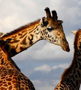 A giraffe framed by two other giraffes.