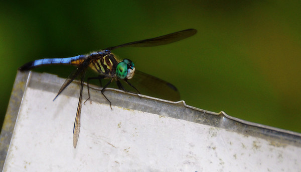 Dragonfly at Botanical Garden