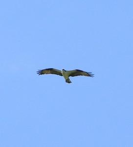 166, osprey, perch river wma, NY, may 27, 2005b