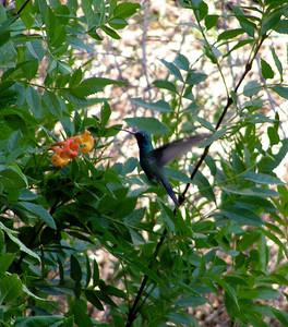 481  Broadbilled Hummingbird,  Boyce Thompson Arboretum, Superior, AZ  nov 21, 2006 073