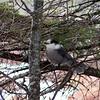 Gray Jay, B'dale Bog, jan 12, 2008.
