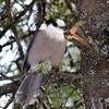 588  Gray Jay, B'dale Bog, jan 12, 2008  PICT0032-2