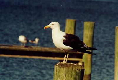 360 1 kelp gull, oct1,1999, Sandgates,MD