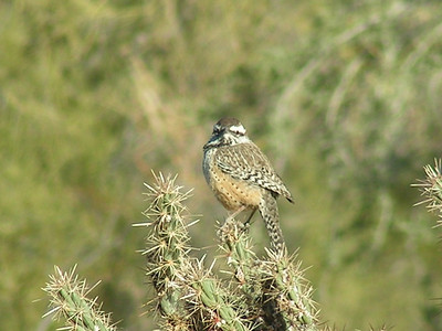 Cactus Wren. Jenny's Wash, Awatokee, Phoenix, AZ, dec 1, 2003