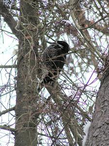 527, black-backed woodpecker, Bigelow rd, Bloomingdale, NY, jan 11, 2005b