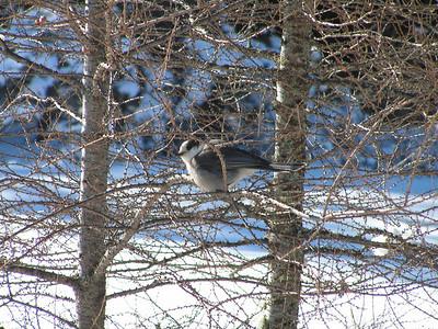 588, gray jay, B'dale Bog, N end, feb 19, 2005b