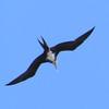 061 1, Great Frigatebird, Kilauea Lighthouse, Kaua'i, aug 24, 2005  572