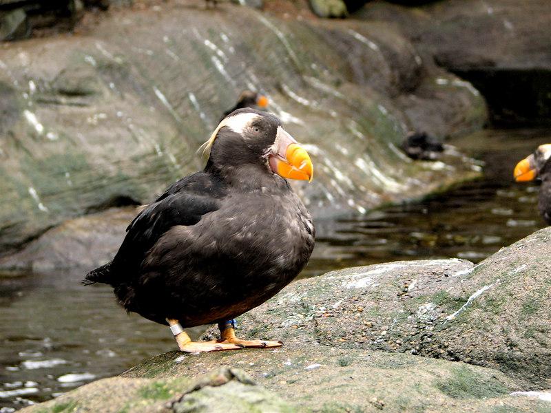 Puffin, Oregon Coast Aquarium, Newport, Oregon.