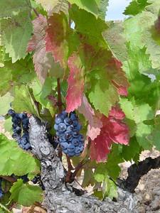 grape de raisin (Provence, France 2002)