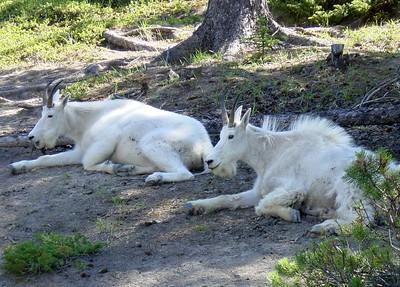 06 Mountain goats