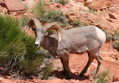 Big horn sheep (Capitol Reef, UT 2005)