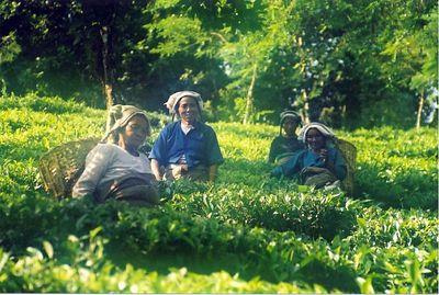 Harvesting tea (Darjeeling 2000)