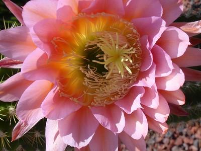Cactus in our garden (2003)