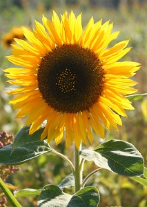 Sunflower (CA 2005)