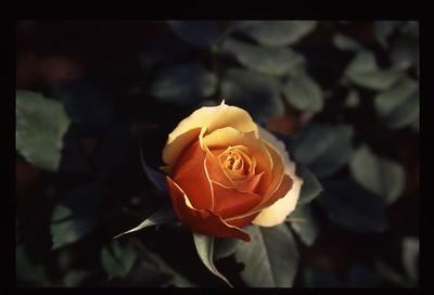 10 pretty rose 110