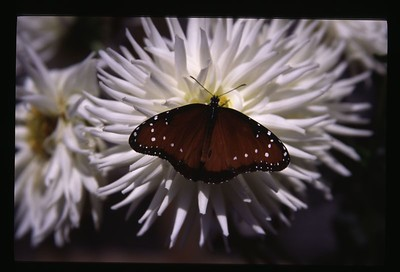 38 butterfly and white flower 47