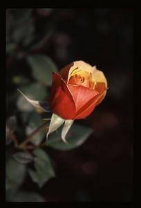 17 beautiful rose 119