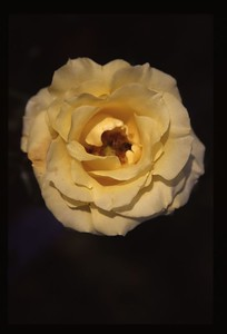 16 yellow rose 118