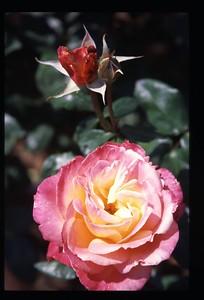 11 roses 111