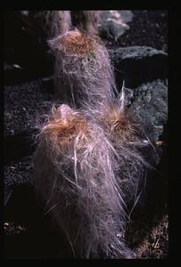 22 Hairy cactus 101