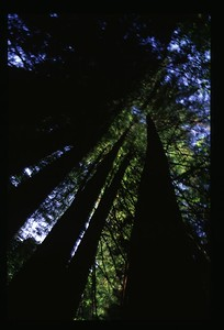 40 Redwood