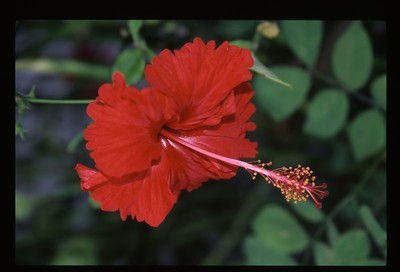 18 red hibiscus 120