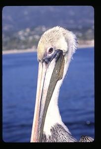 03 close-up pelican 66