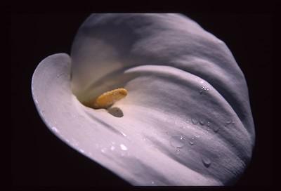 09 Calla lily 103