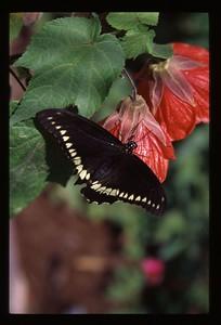 38 black butterfly 45