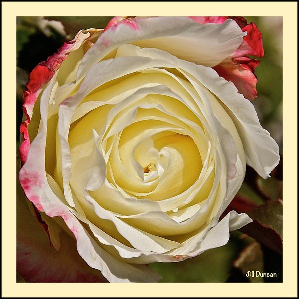 rose center