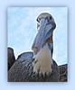 Jill Duncan_pelican on the roof_Photo_16x20