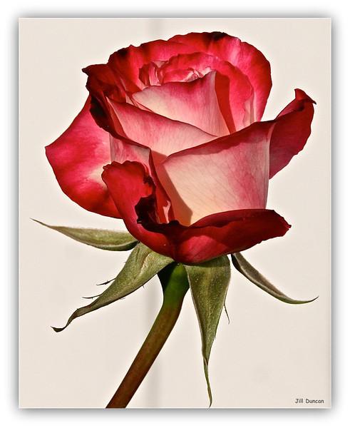 backyard rose in Feb