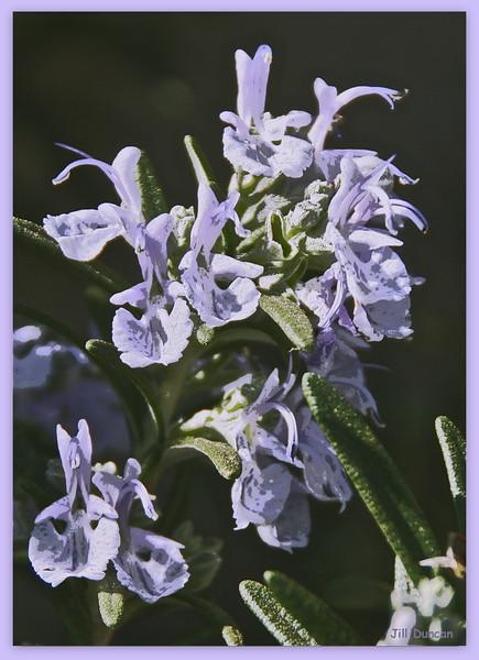 Jill Duncan_rosemary flower