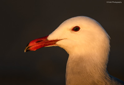 Heermann's gull Head Portrait