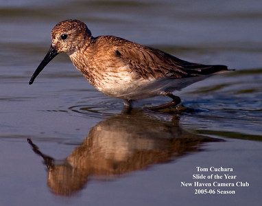Shore Bird_Sand Piper_FLA_flattened_1839 words