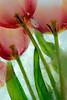 #94 Tulips in Ice